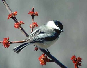 Black-Capped-Chickadee-Pictures